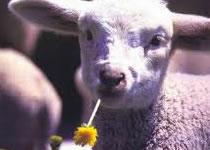 Jak zrobić owieczkę z plasteliny