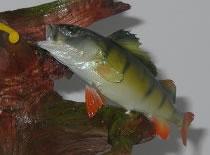 Jak spreparować rybę #1