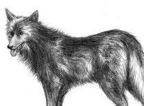 Jak narysować wilka