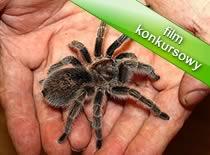 Jak brać pająki na ręce
