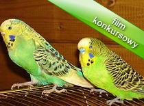 Jak rozpoznać płeć papugi falistej