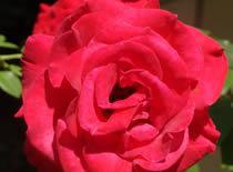 Jak zrobić różany odświeżacz powietrza