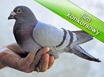 Jak zrobić wabik na gołębie