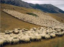 Jak zrobić procę pasterską