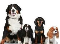 Jak wybrać psa - rasowy czy kundelek