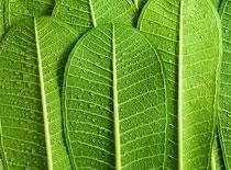 Jak uzyskać czysty tlen za pomocą liści