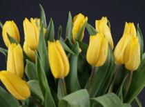 Jak postępować z ciętymi tulipanami