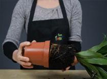 Jak przesadzić roślinę doniczkową