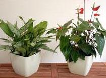 Jak zwalczyć szkodniki roślin doniczkowych