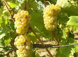Jak zrobić wino z winogron - krok po kroku