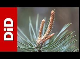 Jak wykonać syrop z pędów sosny