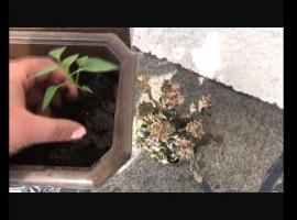 Jak hodować chili w domu