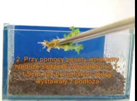 Jak sadzić rośliny pierwszego planu w swoim akwarium