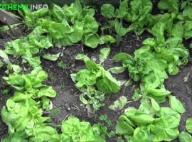 Jak uprawiać sałatę przez cały sezon wegetacyjny