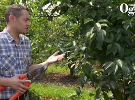 Jak przycinać wiśnię