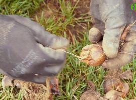 Jak wykopać i zabezpieczyć cebule tulipanów