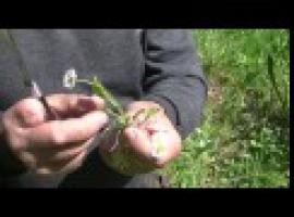 Jak wykorzystać dzikie rośliny - stokrotka