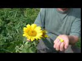 Jak wykorzystać kwiat słonecznika - medycyna naturalna